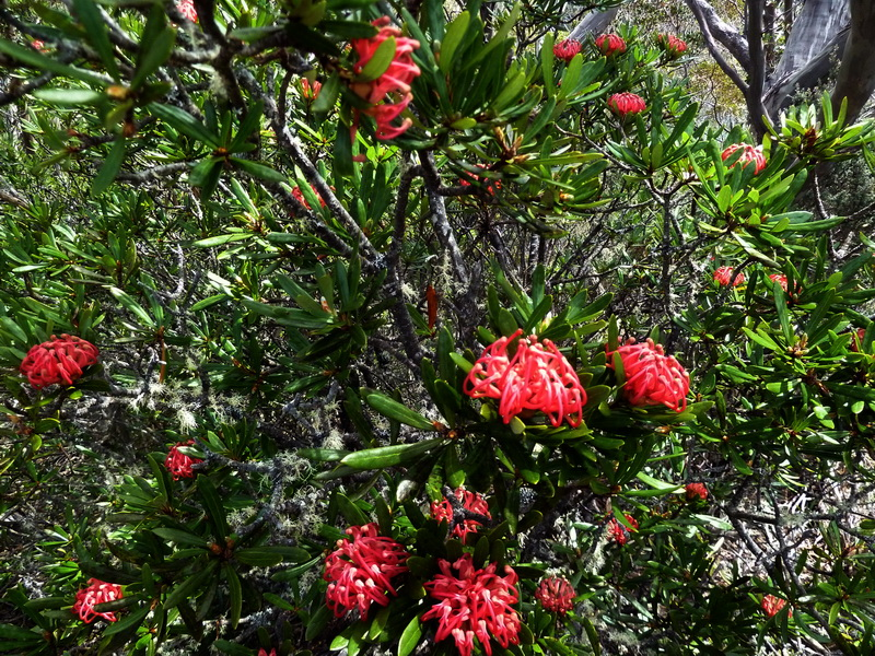 Mt Wellington - Waratah