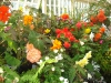 launceston-city-park-serre-begonias