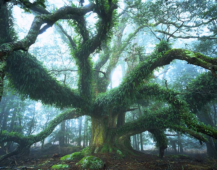 Ancient-myrtle-Nord-Est-Photo-Rob-Blaker